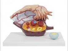 卵巢解剖放大模型(3部件)