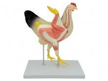 母鸡解剖模型(动物医学解剖模型)