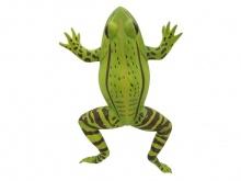 青蛙解剖放大模型(动物医学解剖模型)