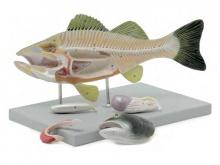鲈鱼解剖模型(动物医学解剖模型)