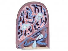 脾脏结构模型