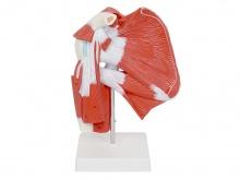 肩关节附肌肉肌腱模型