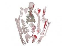 未组装的附肌肉起止点散骨模型