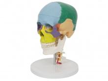 彩色头颅骨带7节颈椎模型