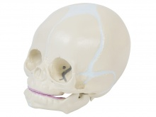 新生婴儿头颅骨模型