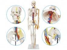 人体骨骼附主要动脉和神经分布模型85cm