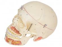头颅骨附血管神经模型