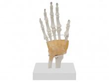 手腕关节模型