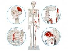 人体骨骼附半边肌肉起止点着色模型(带数字标识)85CM