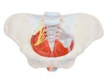 女性骨盆附盆底肌和神经模型