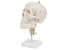 头颅骨带颈椎模型