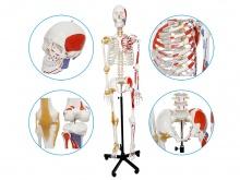 人体骨骼附关节韧带和肌肉起止点着色模型(数字标识)
