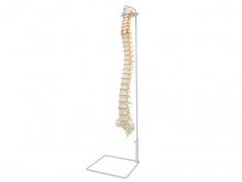 脊柱骨模型