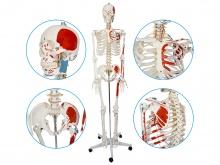 人体骨骼附肌肉起止点着色模型170cm(带数字标识)