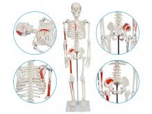 人体骨骼附半边肌肉着色模型85CM