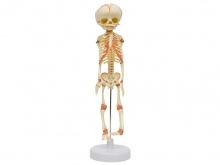 胎儿骨骼模型