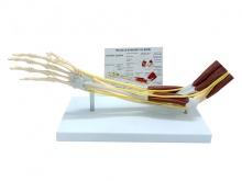 肘关节肌肉神经韧带功能模型