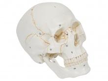 头颅骨模型(带数字标识)