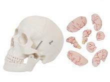 头颅骨带脑动脉模型(颅脑模型)