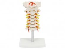 颈椎模型(颈椎带颈动脉模型)