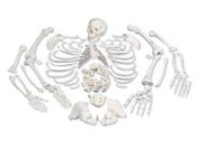 人体骨骼散骨模型(游离骨模型)