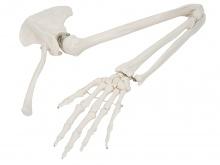 手臂骨、肩胛骨和锁骨模型