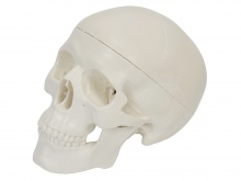 学生用头颅骨模型