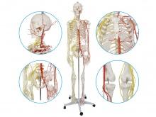 男性全身人体骨骼附主要动脉和神经分布模型170cm