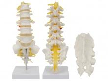 腰骶椎与脊神经模型(骶骨可打开)