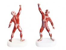 人体全身肌肉运动模型(18CM)
