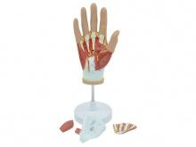 手部肌肉血管神经解剖模型(4部件)