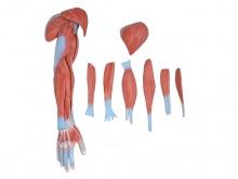 上肢肌肉解剖模型