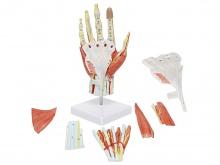 手肌附主要血管神经模型(7部件)