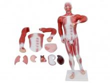 人体肌肉及胸腹腔脏器解剖模型