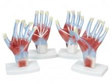 手肌解剖模型